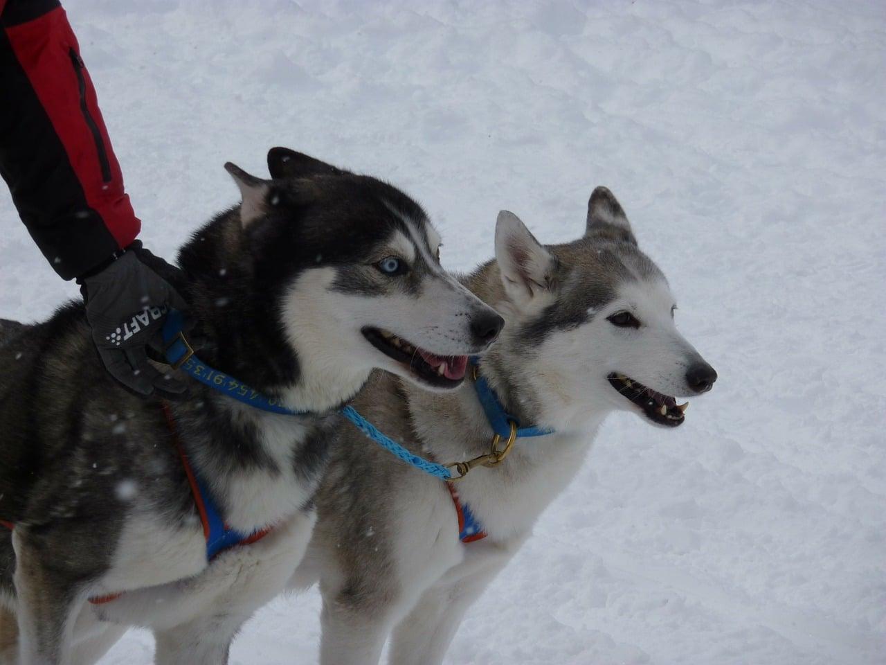 sled-dog-race-196148_1280