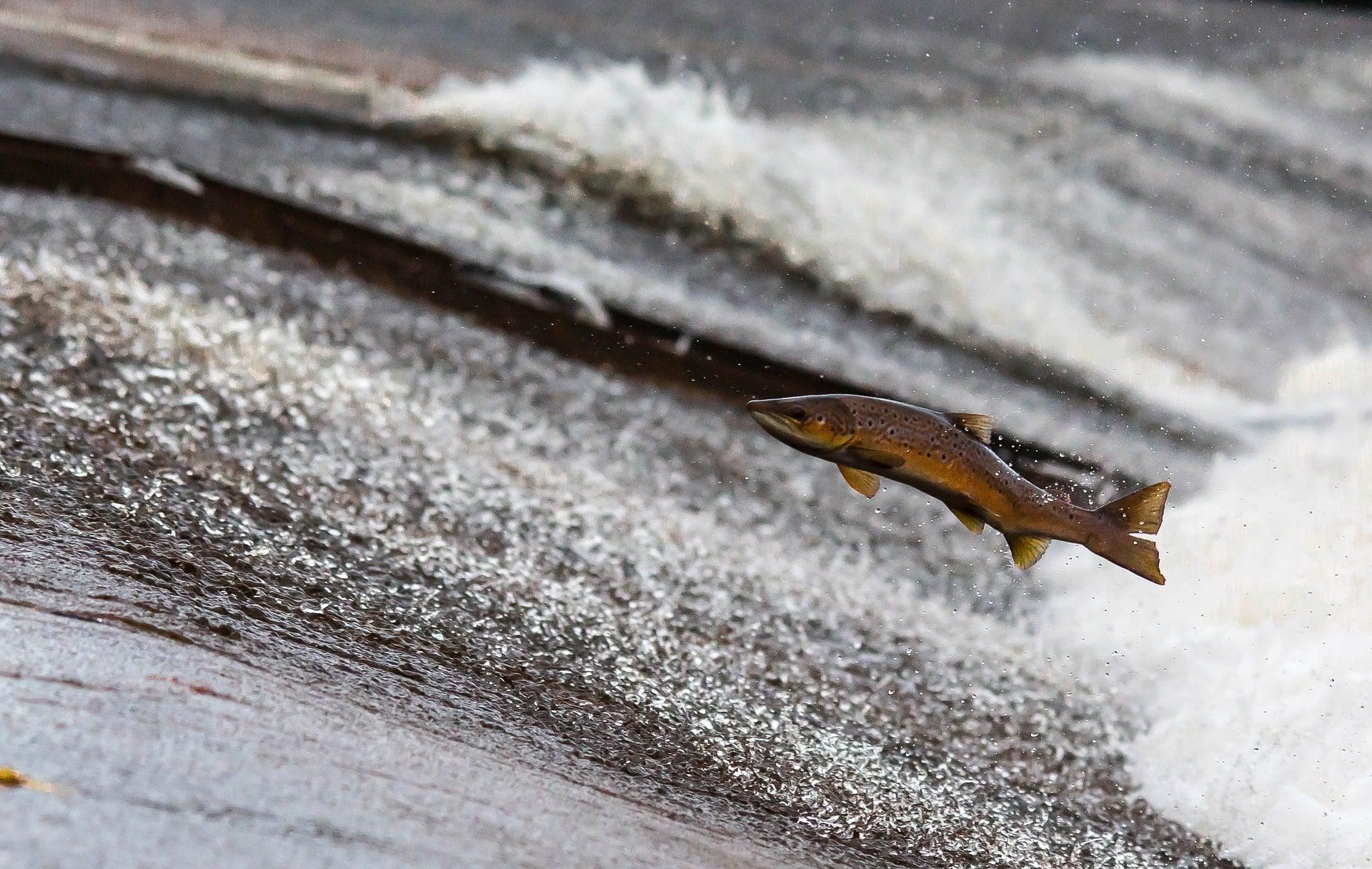 salmon-1107404_1920